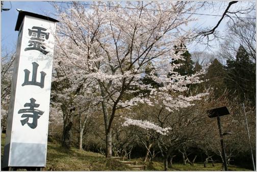 霊山寺-桜