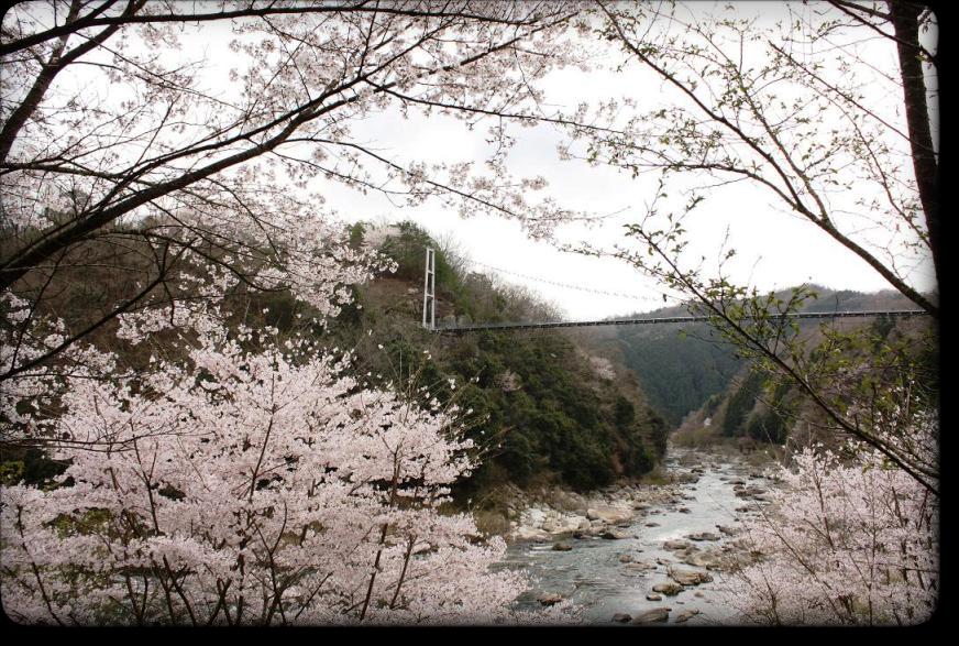しあんばしと桜