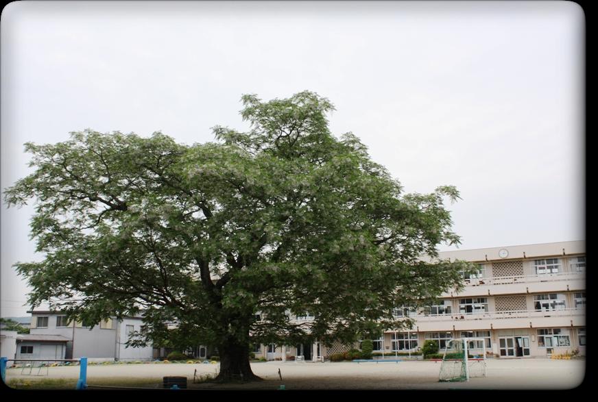 センダンの大樹
