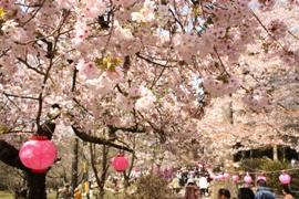 霊山桜まつり